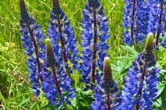 Purpurowi wildflowers lupines, lila lato łąka kwitną Fotografia Stock