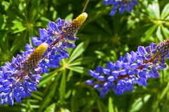 Purpurowi wildflowers lupines, lila lato łąka kwitną Zdjęcie Royalty Free