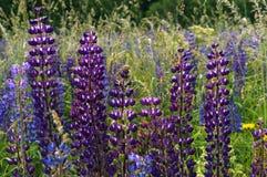 Purpurowi wildflowers lupines, lila lato łąka kwitną Obraz Stock