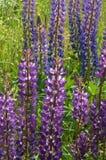 Purpurowi wildflowers lupines, lila lato łąka kwitną Fotografia Royalty Free