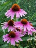 Purpurowi wildflowers w świetle słonecznym Obrazy Stock