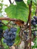 Purpurowi winogrona z zielonymi liśćmi Obrazy Stock