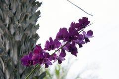 Purpurowy ćma orchidei kwiat na drzewie Phalaenopsis jest jeden popularne orchidee w handlu zdjęcie stock