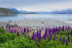 Purpurowy łubinowy kwiatu dorośnięcie Jeziornym Tekapo w Nowa Zelandia Zdjęcie Royalty Free