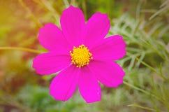 Purpurowy żółty kwiatu zmierzch Obraz Royalty Free