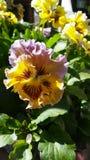 Purpurowy żółty pansy ogródu pokładu ganeczka słoneczny dzień Zdjęcie Stock