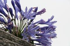 Purpurowy agapant Obraz Royalty Free