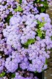 Purpurowy ageratum kwitnie w kwiacie Obraz Royalty Free