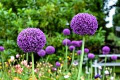 Purpurowy Alium kwiatu duet Obrazy Stock