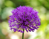 Purpurowy allium Obraz Royalty Free