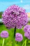 Purpurowy allium Obrazy Royalty Free