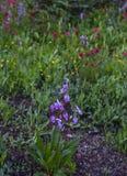 Purpurowy Alpejski shooting stars zdjęcia royalty free
