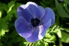 Purpurowy Anemonowy coronaria w ogródzie, makowy anemon, windflower fotografia royalty free