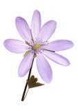 Purpurowy anemonowy kwiat z liśćmi ilustracja wektor