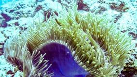 Purpurowy anemonu zakończenie up, Maldives obrazy royalty free
