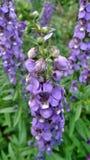Purpurowy Angelonia kwiatu pole Obrazy Stock