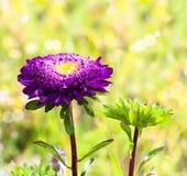Purpurowy aster Fotografia Royalty Free