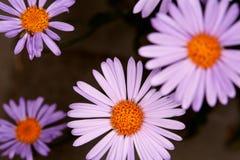 Purpurowy aster Zdjęcia Royalty Free