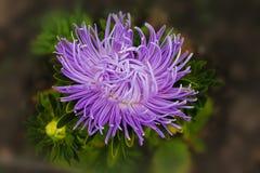 Purpurowy asteru kwiat raduje się w lecie purpurowe aster gałąź na odosobnionym zielonym tle fotografia royalty free