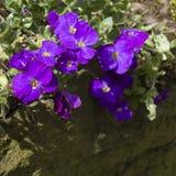 Purpurowy Aubretia kwitnie w wiośnie Zdjęcie Stock
