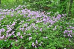 Purpurowy azalia kwiat Fotografia Royalty Free