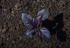 Purpurowy basil, zielenie r na ogródzie, naturalna żywność organiczna fotografia stock