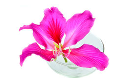 Purpurowy Bauhinia obrazy stock