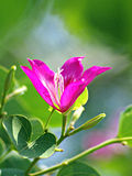 Purpurowy Bauhinia Fotografia Stock