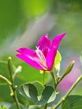 Purpurowy Bauhinia Zdjęcia Stock