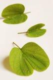 Purpurowy Bauhinia Zdjęcie Stock