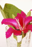 Purpurowy Bauhinia Obraz Stock