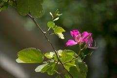 Purpurowy Bauhinia Zdjęcie Royalty Free