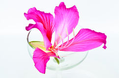 Purpurowy Bauhinia w szkła dobrze. Zdjęcia Royalty Free
