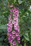 Purpurowy bellflower Zdjęcie Royalty Free