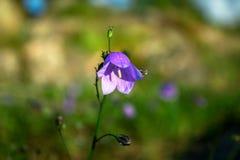Purpurowy Bellflower w zieleni Zamazanym tle zdjęcia stock