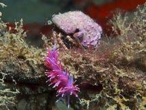 purpurowy bezkręgowiec fotografia royalty free