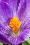 Purpurowy biały krokus Zdjęcia Royalty Free