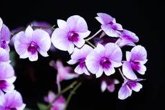 Purpurowy & biały storczykowy kwiat Obrazy Stock