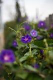 Purpurowy bindweed Zdjęcie Stock