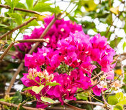 Purpurowy bougainvillea Obrazy Stock