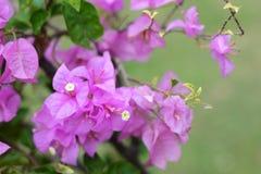 Purpurowy bougainvillea Obraz Stock
