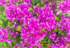 Purpurowy bougainvillea kwiat w kolorowym kolorze w ogródzie Zdjęcia Royalty Free