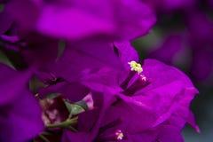 Purpurowy Bugambilia Obrazy Royalty Free