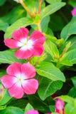 Purpurowy Catharanthus roseus Madagascar barwinek, różowy peri Fotografia Stock