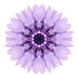 Purpurowy Chabrowy mandala kwiatu kalejdoskop Odizolowywający na bielu Obraz Stock