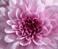 Purpurowy chrysantemum makro- Zdjęcia Royalty Free