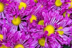 Purpurowy chryzantema kwiat Zdjęcie Royalty Free