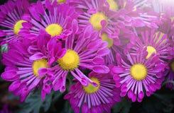 Purpurowy chryzantema kwiat z światłem słonecznym Zdjęcia Royalty Free