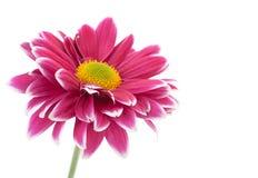 Purpurowy chryzantema kwiatu zbliżenie Zdjęcia Stock