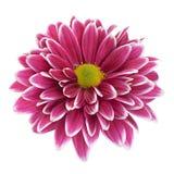 Purpurowy chryzantema kwiatu zbliżenie Fotografia Stock